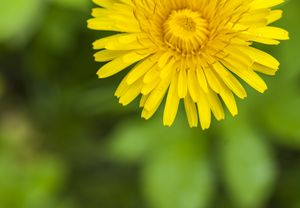 large yellow blooming dandelion