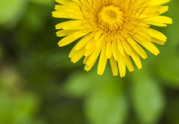 large yellow blooming dandelion - rokkis