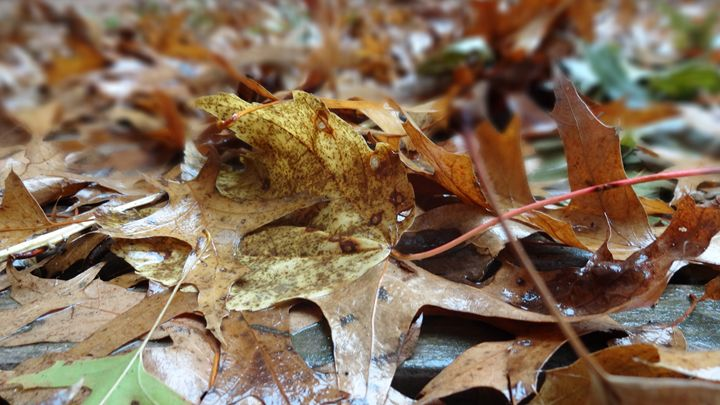 Fall Leaves - Connors Photos