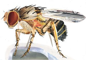 Fruit Fly in Magazine Cuttings