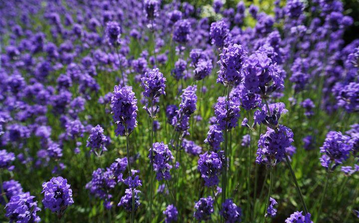 Lavender Affair - R.Gourley