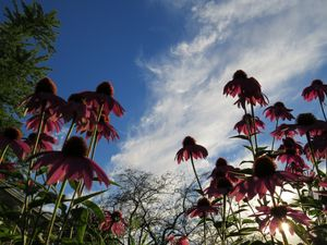 Purple Coneflowers And Blue Skies