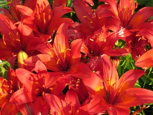 Vivid Red Lilies