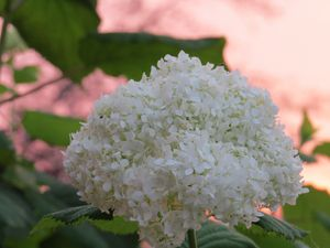 Hydrangea Flower At Sunset
