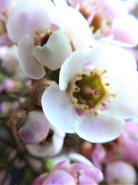 Wax Flower - Sun Photography