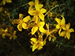 Yellow Rush-Lily