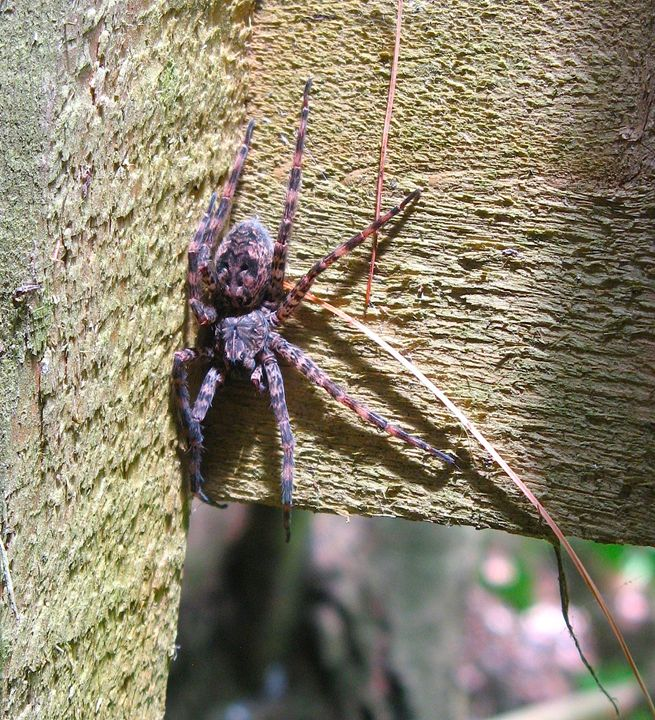 Fishing Spider - Brian Deming