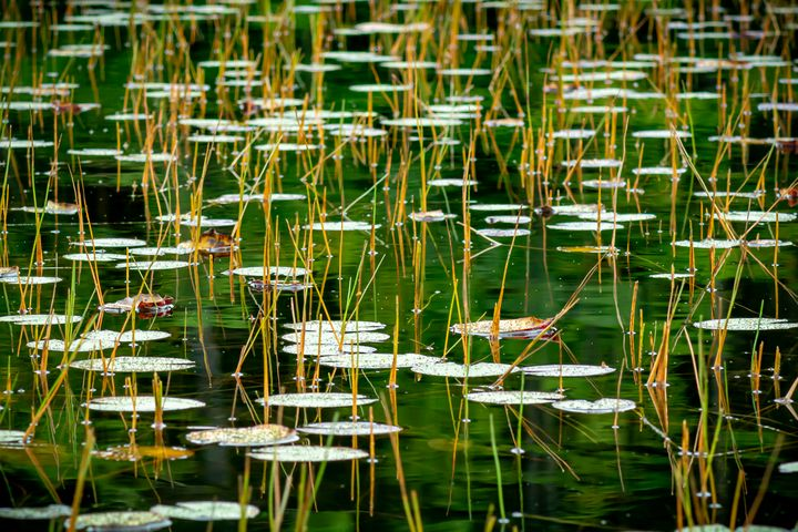 Lilypads and Grasses - Ryan Houde Photography