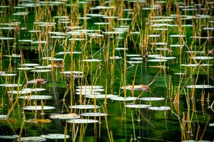 Lilypads and Grasses