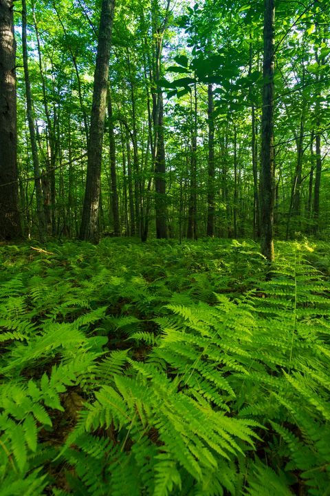 Ferns and Forest - Ryan Houde Photography