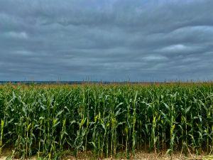 Corn crop with dark clouds