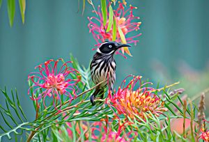 Honeyeater on Grevillea