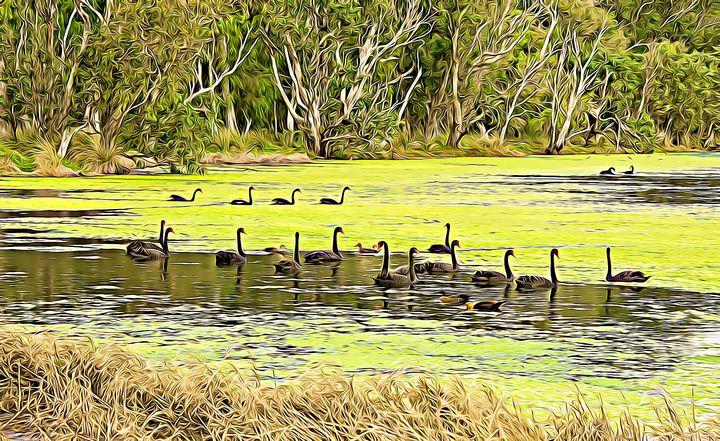 Black Swan Landscape - Millie Moo Photography