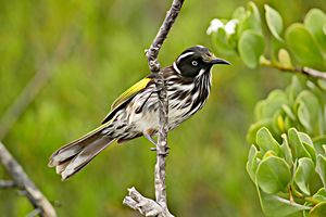 New Holland Honeyeater #1