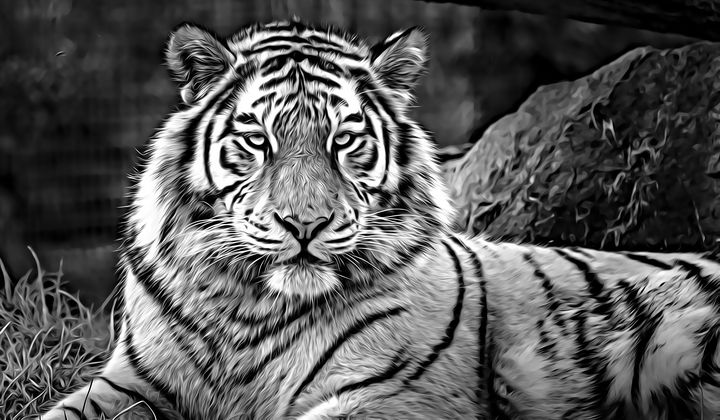 Tiger at Rest - Millie Moo Photography