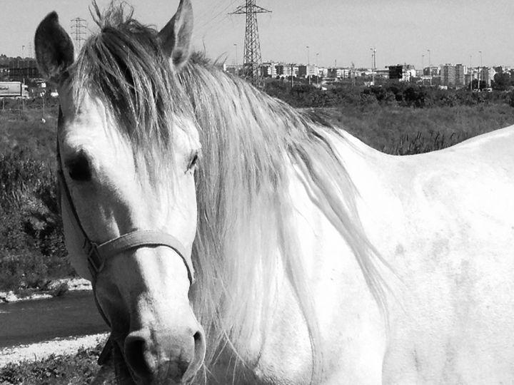 spanish horse - Ruben Barcelona