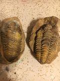 Trilobyte fossil