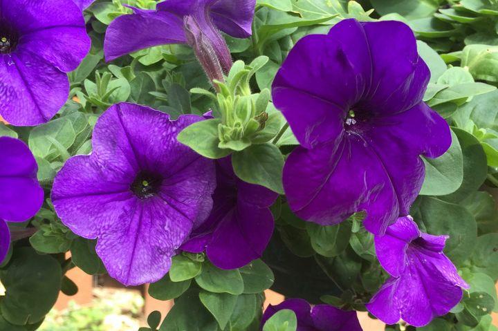 Purple Impatiens - Hites