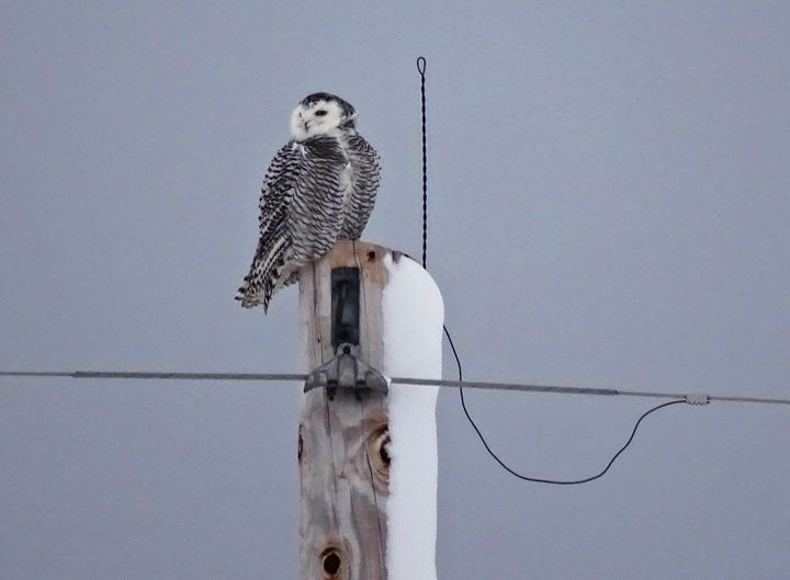 Snowy Owl Female 1 - Constance Nik