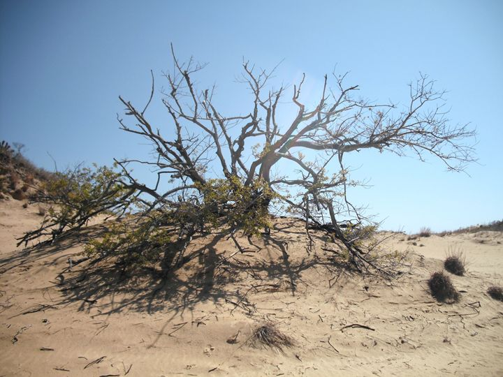 Tree at Jockey's Ridge - Ren's Lens