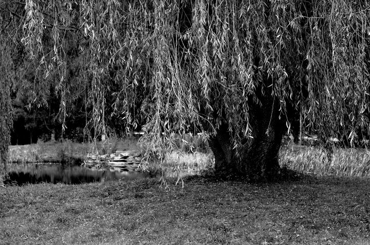 Black & White Willow Tree - MD Photography