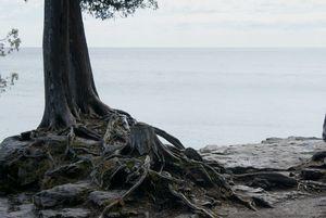 Tree Roots Door County