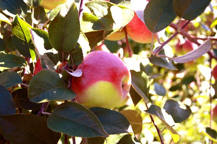 Apples - MD Photography