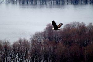 Eagle Flying over Mississippi River