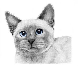 Siamese Cat -  Tanisha.burian