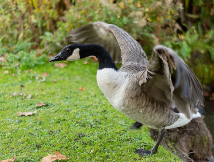 Canadian goose with wings stretched - S. Lyons Photography