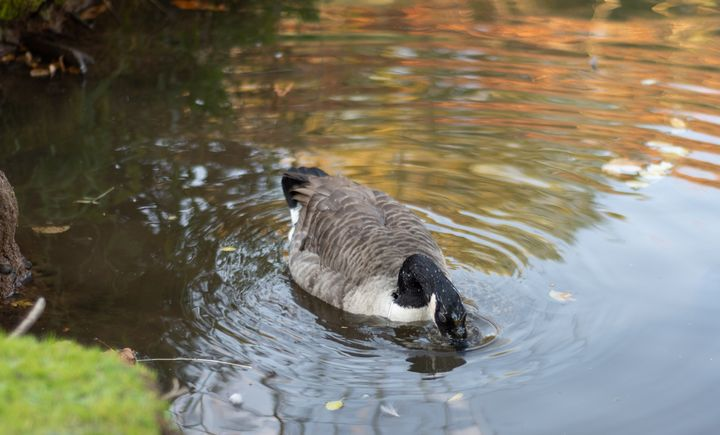 Goose head in water - S. Lyons Photography