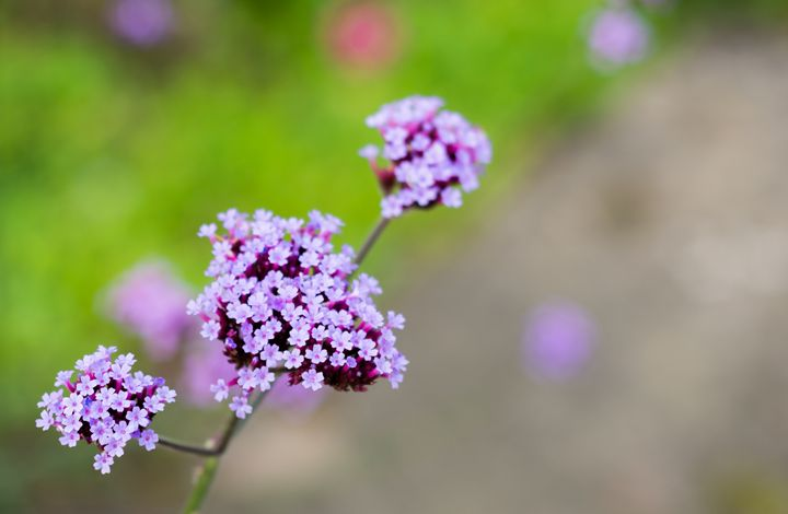 Small purple flowers - S. Lyons Photography