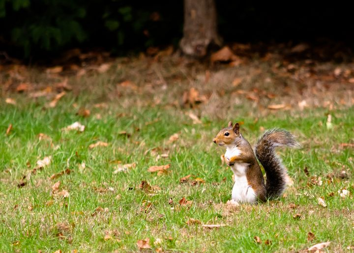 Squirrel stood up in grass - S. Lyons Photography