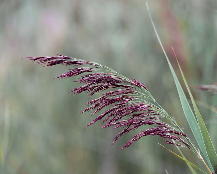 Common reed flower stalk - S. Lyons Photography