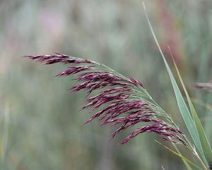 Common reed flower stalk