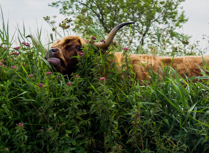 Highland cow in tall grass - S. Lyons Photography