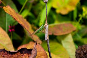 Green conehead cricket holding twig