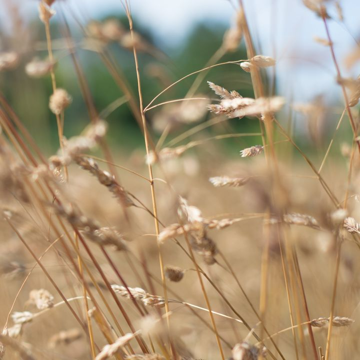 Dried Grass Out Of Focus - S. Lyons Photography