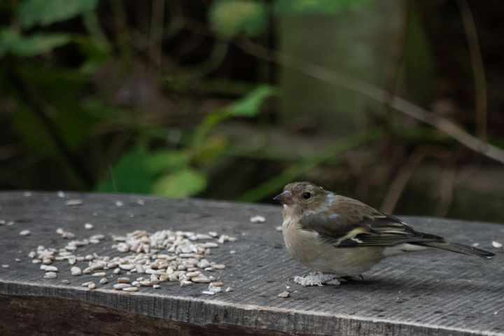 House sparrow next to seed on bench - S. Lyons Photography