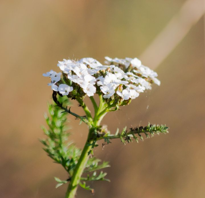 Small white flowers - S. Lyons Photography