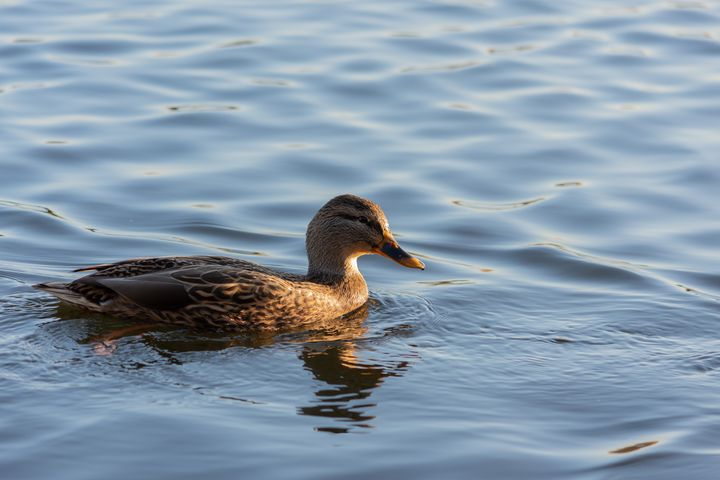 Duck in the afternoon - S. Lyons Photography
