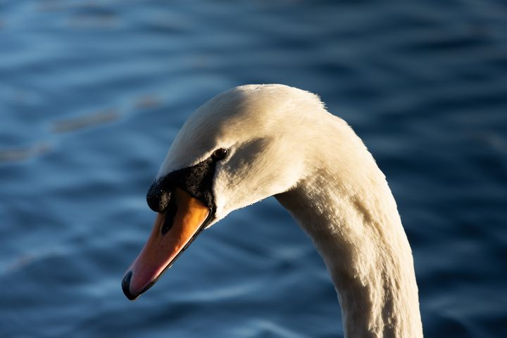 Swan in the afternoon - S. Lyons Photography