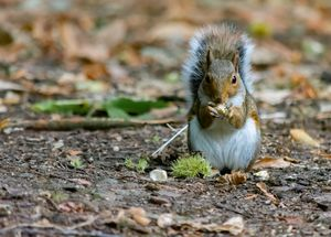 Gray squirrel stood with nut