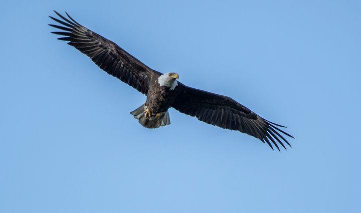 Bald Eagle Returns - David Bearden