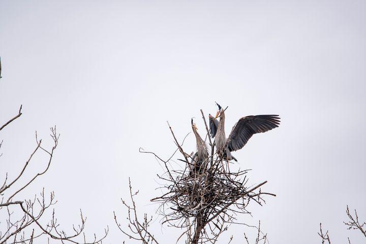 Blue Herons Stick Exchange - David Bearden