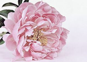 Pink Peony Wall Art, Flower Print