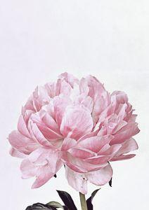 Peony Flowers, Pink Peony Print