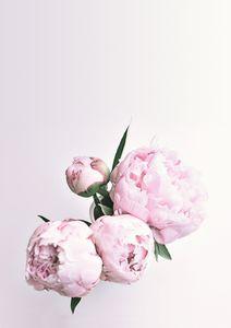 Pink Peony Art, Rose Flower Print
