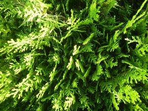Fir Tree  Leaves