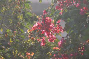 Red Paper Bougainvillea